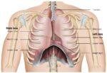 chest cavity